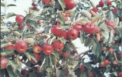 Bozkır'ın Bugünkü ve Gelecekteki Umudu Olarak Görülen Elma